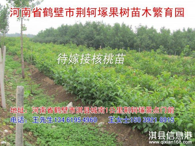 淇县优质清香核桃苗、桃苗、苹果苗、梨苗、柿苗、樱桃苗