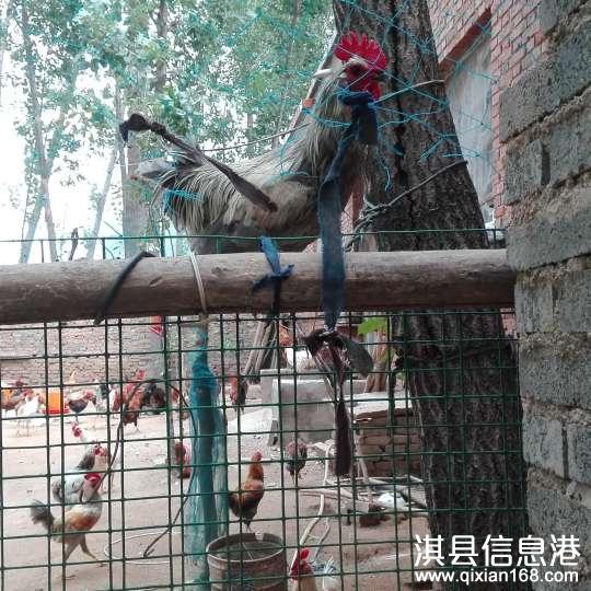 出售自己家养的笨公鸡