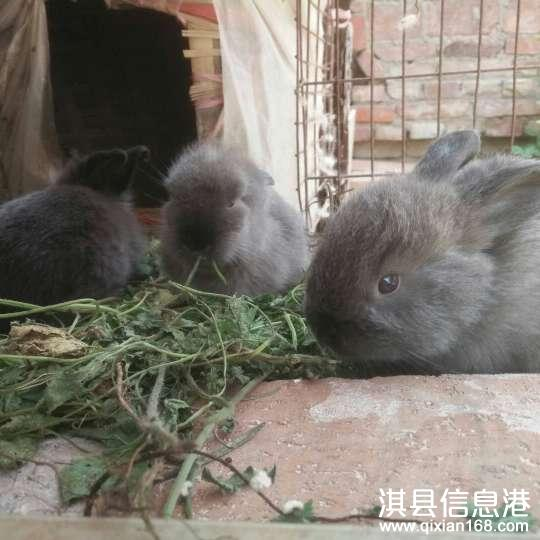 出售呆萌满月宠物兔子